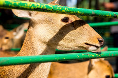 sad Deer in cage Royalty Free Stock Images