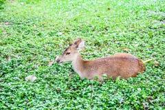 Sad deer lie down. On the plant stock images