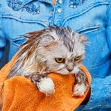Dissatisfied wet cat after wash in bathroom Stock Images