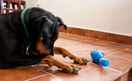 Sad doberman Stock Photo
