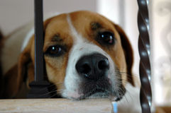 Sad dog. A close-up of a sad dogs face laying on the stairs stock photos