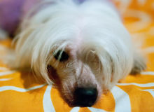 Sad dog. Of breed Chinese Crested Dog on yellow background Royalty Free Stock Images