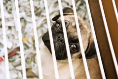 Sad dog. Sad pug (mops) dog in a cage Royalty Free Stock Images