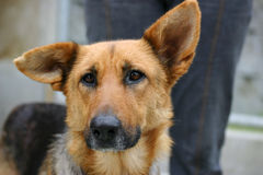 Sad dog. Homeless animals series. Sad looking german shepherd mixbreed dog, animal pen in the background stock photos