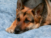 Sad dog. The sad dog lays on a carpet in a garden Stock Image