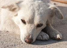 Sad dog Royalty Free Stock Photography
