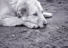 Sad dog. A Sad dog has leaned his head on the ground at animal shelter Stock Images