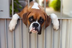 Sad dog. Portrait of a cute sad boxer dog Royalty Free Stock Photos
