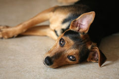 Sad Dog Royalty Free Stock Photo