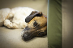 Sad Dog. Close up of a dog laying in a sofa with a sad expression Royalty Free Stock Photos