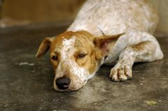 Sad Dog. Sad looking rescued stray dog. Be kind to all animals Royalty Free Stock Photography