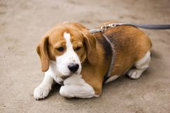 Sad dog. A dog (beagle) lying on sandd, looking for his owner Stock Photos