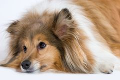 Sad dog. Sad looking Sheltand Sheepdog Royalty Free Stock Image