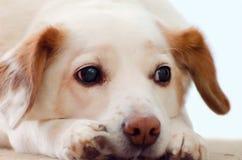 Sad Dog Royalty Free Stock Photo
