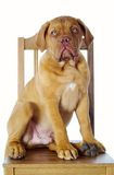 Sad dog. Dog on chair royalty free stock photo