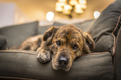 Sad Dog. Adorable, but sad and lonely dog laying down on the sofa royalty free stock photo
