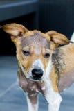 Sad dog with alopecia, no hairs Stock Images