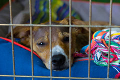 Sad dog with alopecia waiting for someone. Adoption concept Stock Images