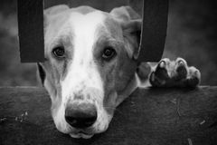 Sad dog Basset Hound with the face and left paw projecting over a cement wall. And behind house metal bars looking up to the camera. Photo in black and white stock photos