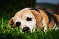 Sad dog. Sad beagle dog on a green lawn Royalty Free Stock Photo