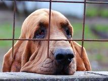 Sad dog behind bars. Sad dog bloodhound looking through the bars Royalty Free Stock Photo