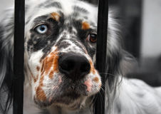 Sad dog behind bars royalty free stock photography