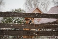 A sad dog behind a fence in winter Stock Photography