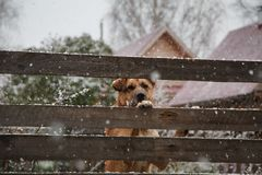 A sad dog behind a fence in winter. Cute lonely dog watches something trough the wooden fence in winter Royalty Free Stock Photography