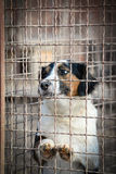 Sad dog behind a iron fence. Dog from dog`s shelter looking for adopters Royalty Free Stock Image