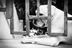Sad Dog Behind Iron Gate Royalty Free Stock Photo
