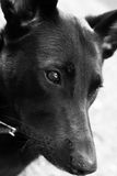 Sad dog in black and white Royalty Free Stock Photo