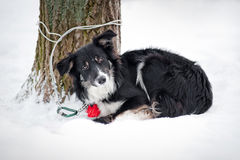 Dog border collie on the leash Stock Photos