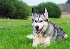 The sad dog breed an alaskan malamute. The dog breed an alaskan malamute lies on a field on a green grass in the summer, processed by a preset, thoroughbred Royalty Free Stock Photography