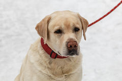Sad dog breed Labrador. February in the Park Stock Images
