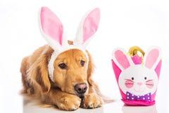 Sad dog in bunny ears stock photos