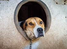 Sad dog on a chain in kennel Royalty Free Stock Photography