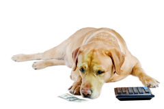 Sad dog count  money. Sad dog counts  remained money on the calculator on white background Royalty Free Stock Images