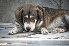 Sad dog. Dog with sad eyes, lying on the sidewalk Stock Photos