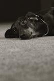 Sad dog German shorthaired Dachshund. Looks with his head Stock Photo