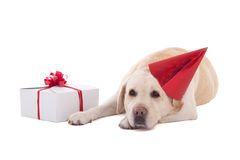 Sad dog (golden retriever) in birthday hat with gift isolated on Stock Photography