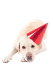Sad dog (golden retriever) in birthday hat isolated on white Royalty Free Stock Images