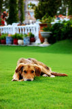 Sad dog on the grass Stock Photography