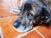 Sad dog. Sad half-breed dog laying on a red tiled floor royalty free stock image