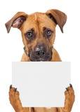 Sad Dog Holding Blank Sign. Sad big crossbreed dog holding up blank sign with paws. Isolated on white stock photos