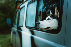 Sad dog Husky looks out of the window while sitting in the car Stock Photography