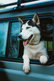 Sad dog Husky looks out of the window while sitting in the car Royalty Free Stock Photos