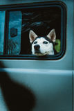 Sad dog Husky looks out of the window while sitting in the car Stock Photos