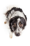Sad dog isolated on white. Sad border collie portrait in studio from above isolated on white Stock Image