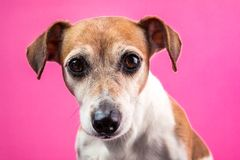 Sad dog face on pink background Royalty Free Stock Photography