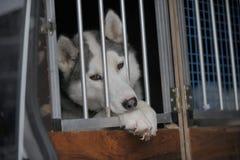 Sad dog in kennel. Sad looking Sibirian Husky dog in iron kennel. The dog is looking through the kennel bars Royalty Free Stock Image